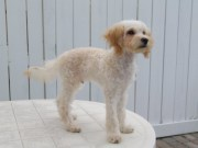 maltese poodle puppy haircut