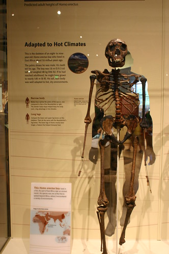 Adapted to Hot Climates, Homo erectus
