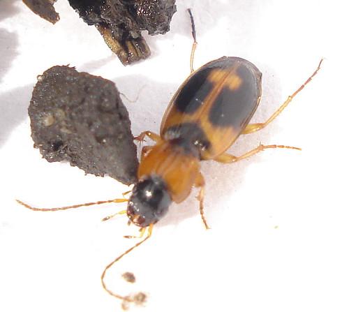 Coleoptera: Badister bullatus