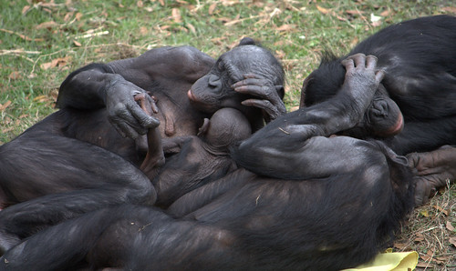 Bonobo group hug by LaggedOnUser