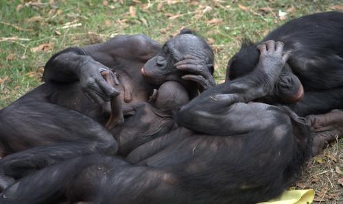 Bonobo group hug by LaggedOnUser