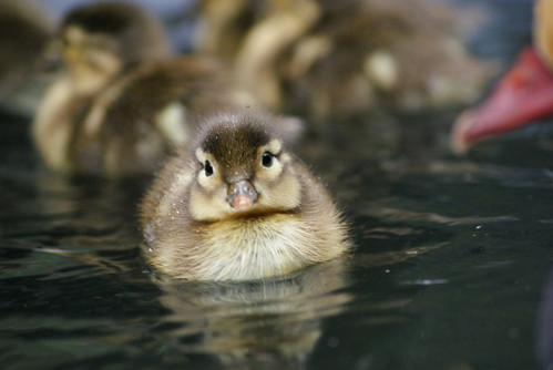 cute duckling