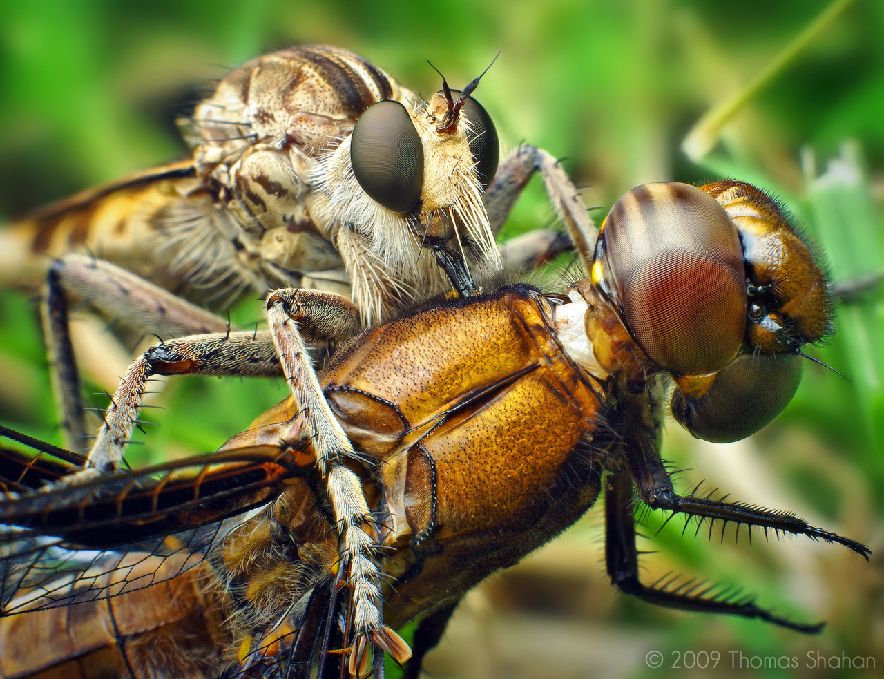 Robber Fly (Triorla interrupta) with Dragonfly (Plathemis lydia)