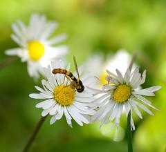 Insect, by Miroslav Bajaja