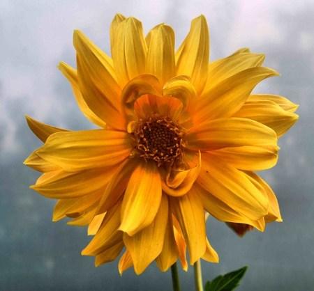 Yellow Dhalia