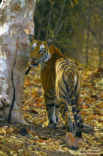 Tiger in habitat