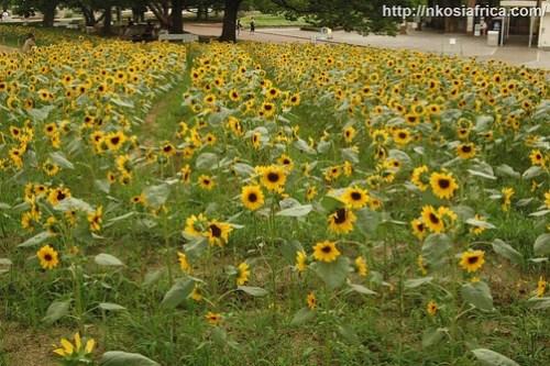 sunflowers@banpaku koen