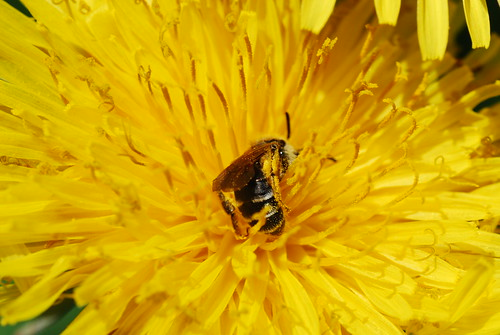 Sweat Bee (Halictus sp.) on Common Dandelion (Taraxacum officinale)
