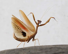 Mantis, unknown