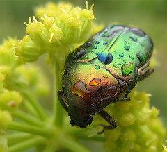 Beetle, unknown