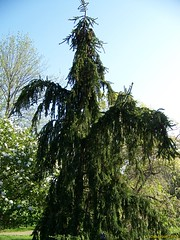Weeping Fir Tree