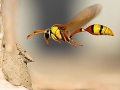 Wasp in flight, unknown