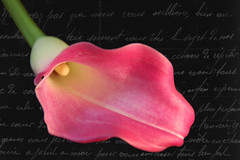 French Cala Lily