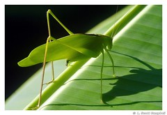 Katydid on banana leaf, unknown
