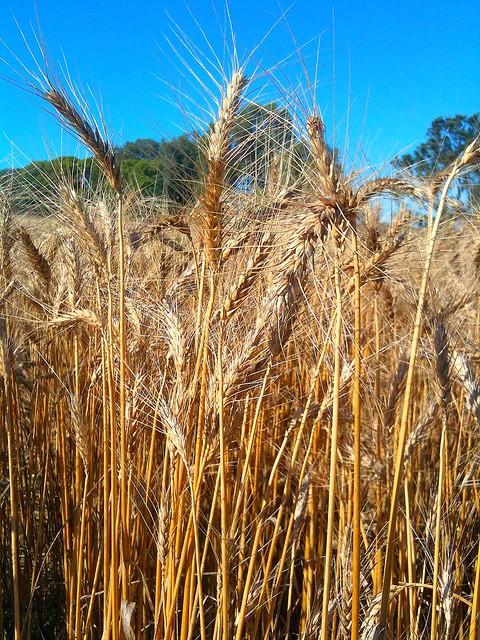 Wheat Stalks Flickr Photo Sharing