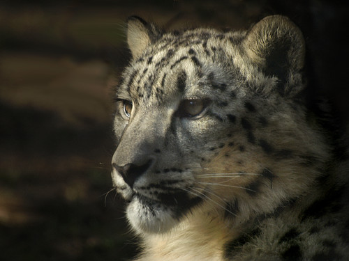 Thoughtful Snow Leopard
