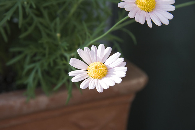 Marguerite Daisy definitionmeaning