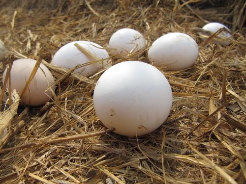 Organic Eggs China - Chicken Farm