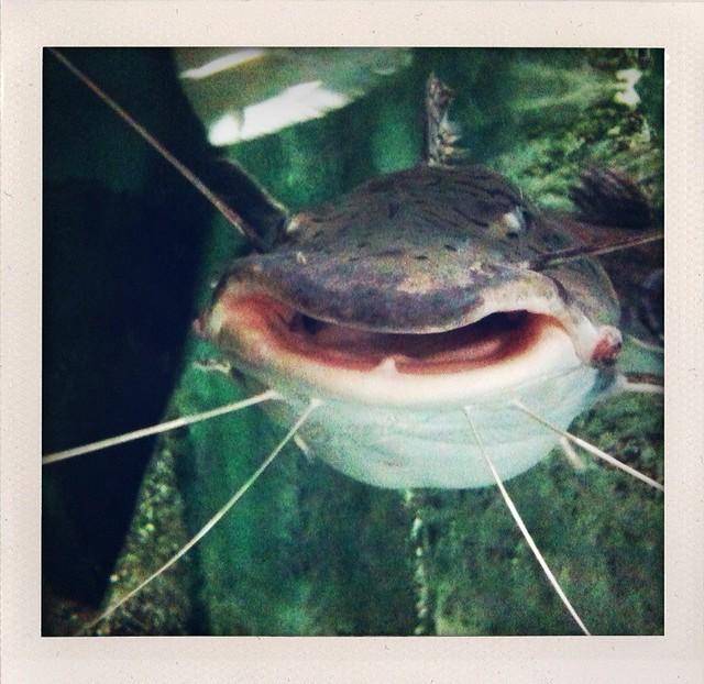 Shark catfish Flickr Photo Sharing!