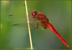 Scarlet Darter, by Maurydv