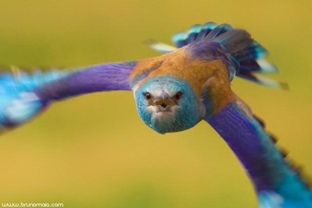 Rolieiro | European Roller (Coracias garrulus)