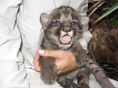 Panther Kitten