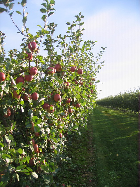 Full apple boughs
