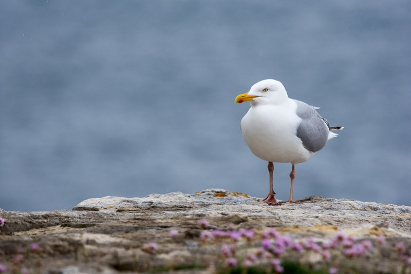 Herring Gull looking for an easy meal.