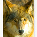 Lobo ~ Wolf