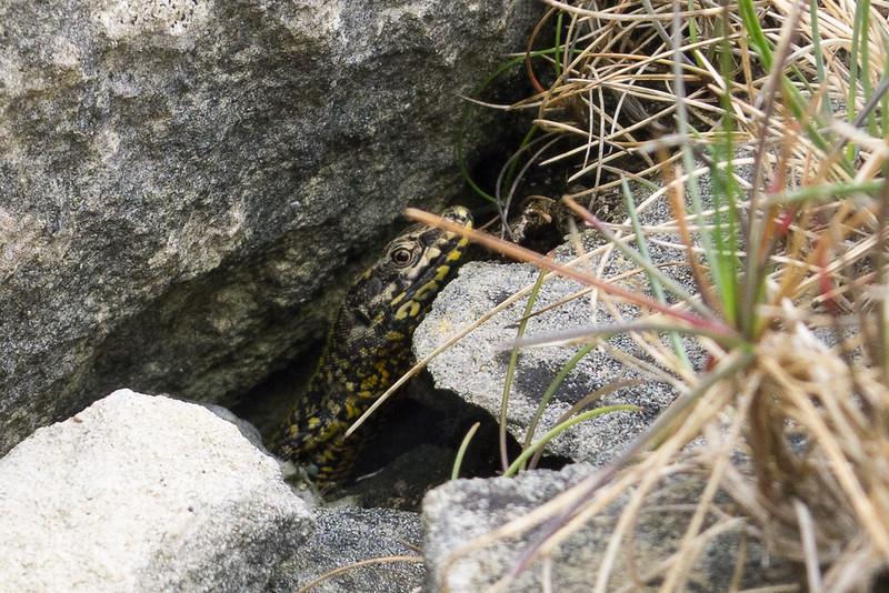 Immature Wall Lizard