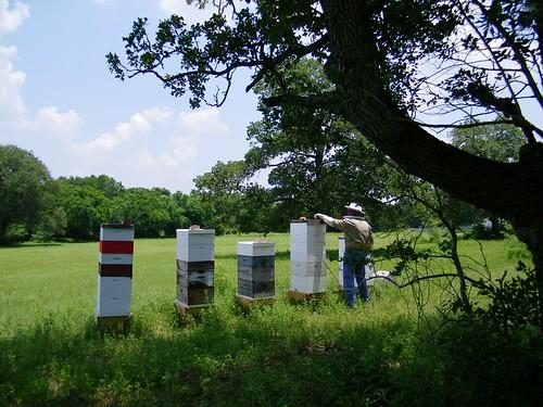Gonzales bee yard