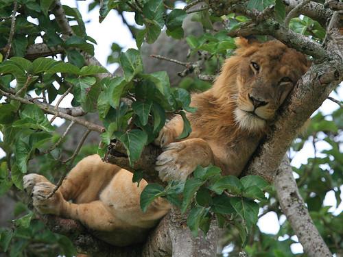 A Lazy Lion
