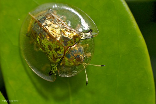 Golden Tortoise Beetle by Kenneth Ng