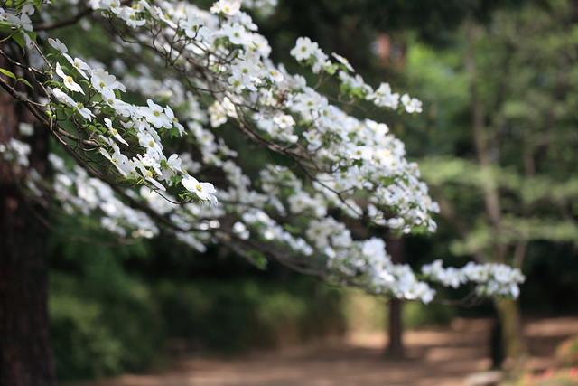 Flowering Dogwood / Cornus florida / 花水木(ハナミズキ)