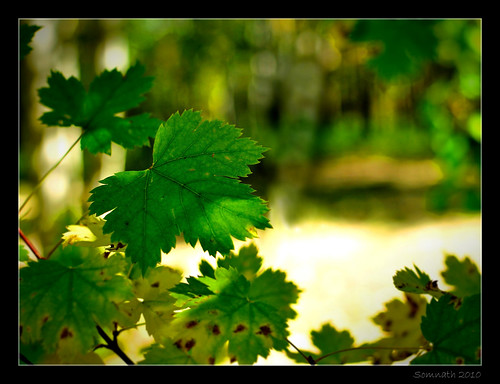 Leaves - The Advent of Fall by Somnath Mukherjee Photoghaphy