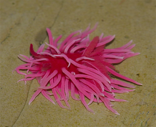 Hopkin's Rose (Hopkinsia rosacea)