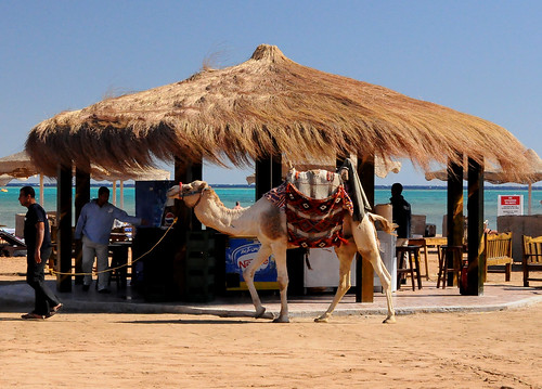 You Can Lead A Camel Too The Bar But You Can't Make It Drink...