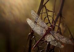 Dragonfly, BY Zmorka Jestem