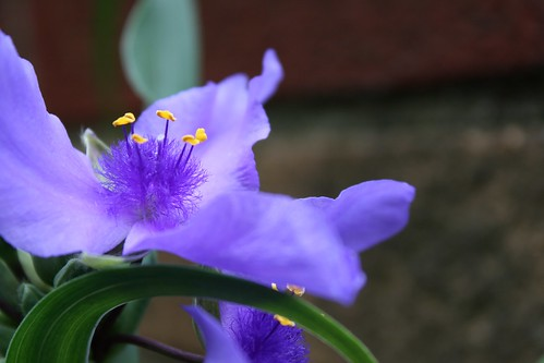 """A warm and fuzzy heart"" spiderwort photo copyright Jen Baker/Liberty Images; all rights reserved. Pinning to this page is okay."
