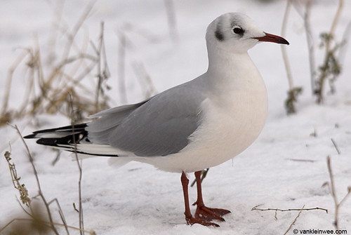 Black-headed Gull, adult