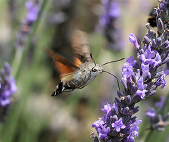Hummingbird Hawk Moth, by IronChris @ Wikipedia