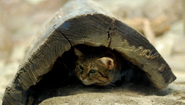 Suspicious Black-Footed Cat