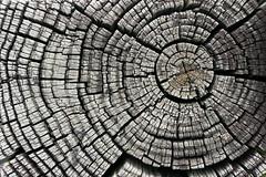 Baumringe (Bild von Darren Hester auf flickr.com unter CC BY-NC 2.0-Lizenz veröffentlicht)