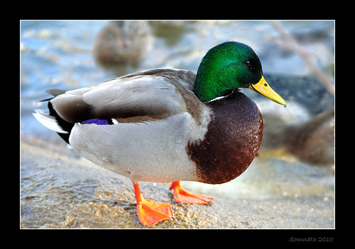 Mallard (Anas platyrhynchos) by Somnath Mukherjee Photoghaphy