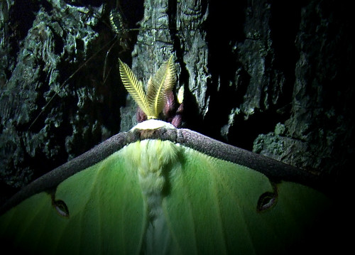 luna moth and harvestman on a black walnut tree