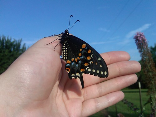 eastern black swallowtail, butterfly, gardening