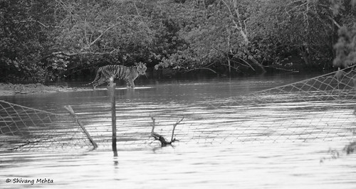 Tiger in Sunderbans