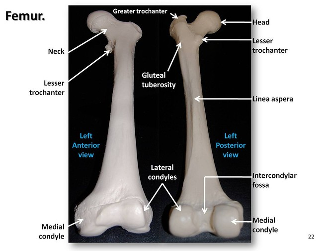 skeleton diagram to label the bones simple ignition wiring femur, anterior and posterior views with labels - appendicular visual atlas, page 22 ...