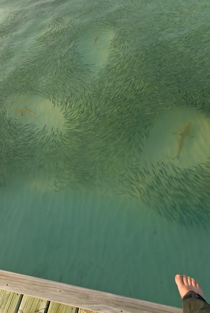 Meeru Sharks-1.jpg