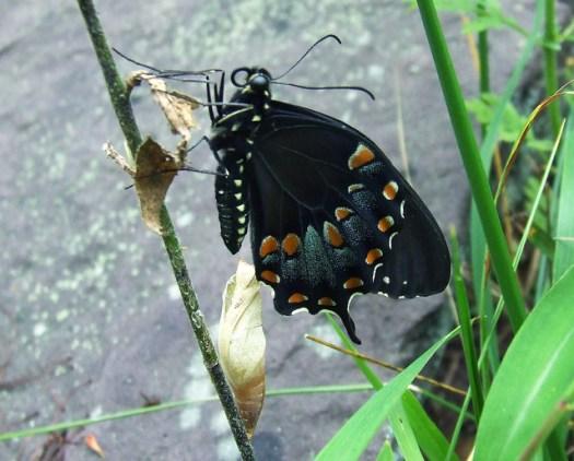 newly emerged spicebush swallowtail 1